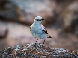European Wheatear