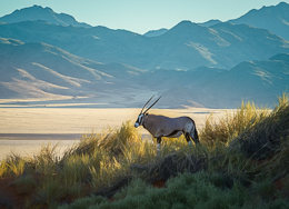 Oryx in the Landscape