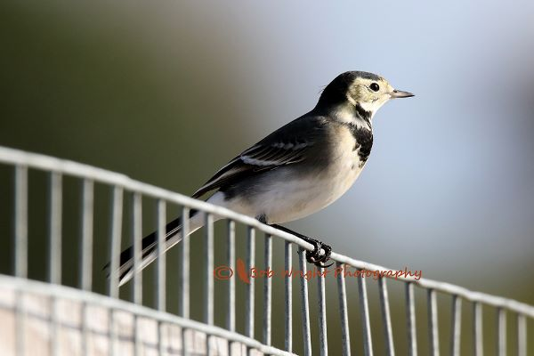 Wagtail-066A0030