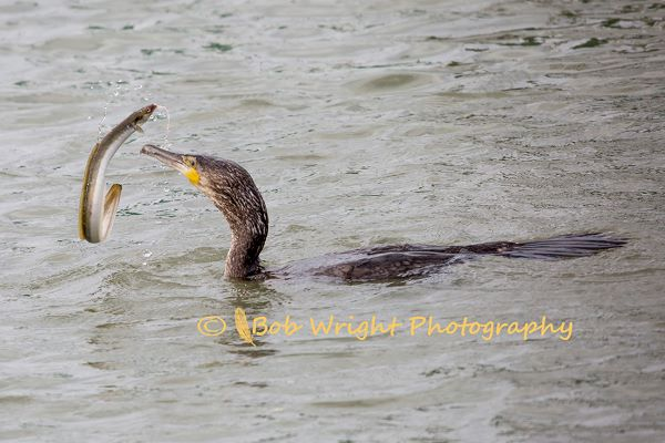 Cormorant with an Eel 570A2214