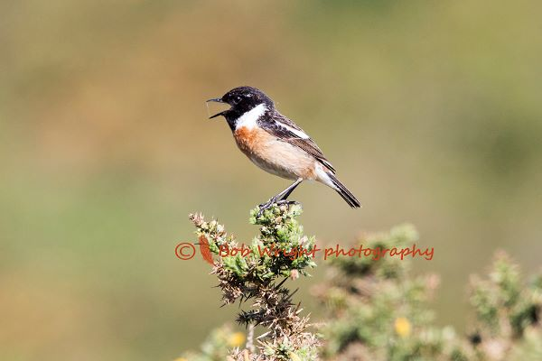 Stonechat-570A7420