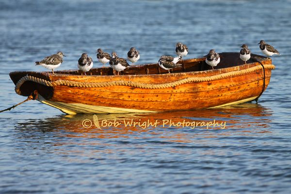 Turnstones on a boat IMG 0255