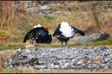 male black grouse lekking