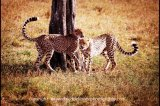 cheetah brothers territory marking