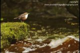 dipper below the waterfall