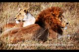 lions ngorongoro crater