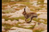 mountain hare cairn gorm