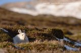 mountain hare, winter coat