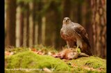 northern goshawk with hare