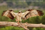 osprey drying wings after rain