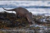 otter (3)