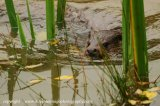 otter in reeds
