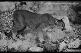 cougar b&w