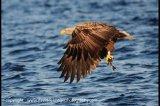 sea eagle7
