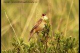 sedge warbler harrying cuckoo