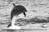bottle-nosed dolphin breaching 2537