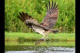 osprey fishing1596