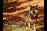wolf bavaria