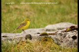 yellow wagtail north yorks