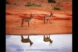 young bushbuck tsavo west