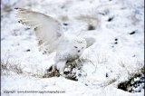 z-snowy owl 2