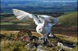 z-snowy owl 5