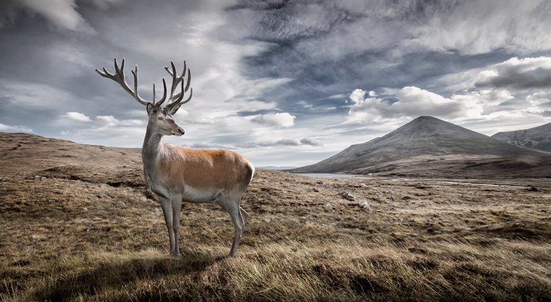 wild red deer landscape photography tim wallace ambientlife