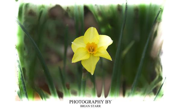1st Daffodil