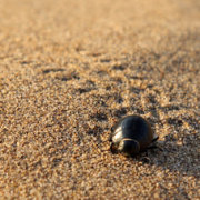 Tiny Trail of Dung Beetle