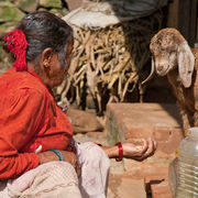 Old Woman Feeding Her Sheep