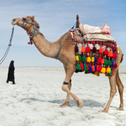 Camel And Car