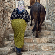 Cows on Stairs