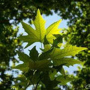 Green Plane Leaves