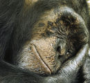 Depressed Chimp