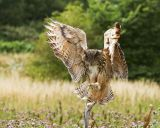 Open Stan Maddams european eagle owl