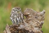 Open Stan Maddams little owl