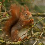 Open dee maddams red squirrel-2