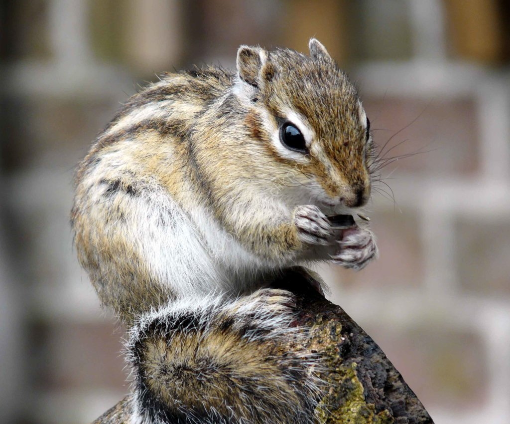 Boscombe camera club welcome to boscombe camera clubs website chipmunk enjoying lunch lynne sorce sciox Images