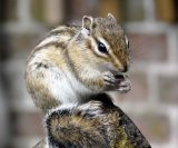 Chipmunk Enjoying Lunch - Lynne Sorce