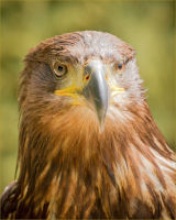 open Brian Wadie Tawny Eagle