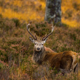 Posing-Stag