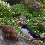 Puffin-in-the-rocks