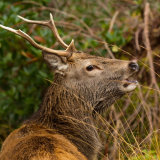 Roaring-stag