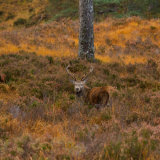 Stag-in-the-heather