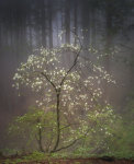 Dogwood blossoms in the mist 2