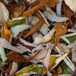 Chesnut leavings