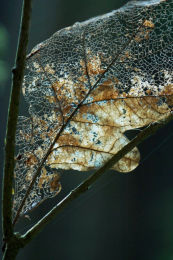 Skeletal Leaf