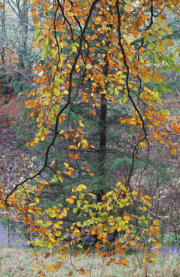 Gullet Wood 2