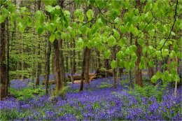 Bluebell Wood at Narrow Water Co Down