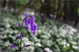 Bluebell portrait in Loughgall